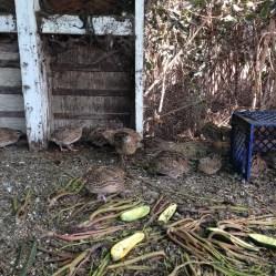 Some happy quail at Little Wing farm in Petaluma