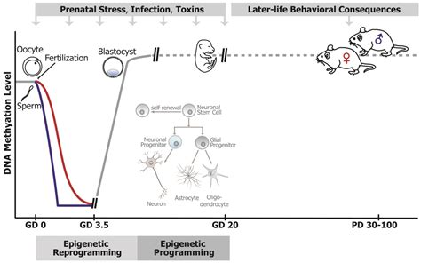 genes free full text epigenetic link prenatal adverse