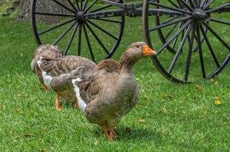 Goose-Commandant