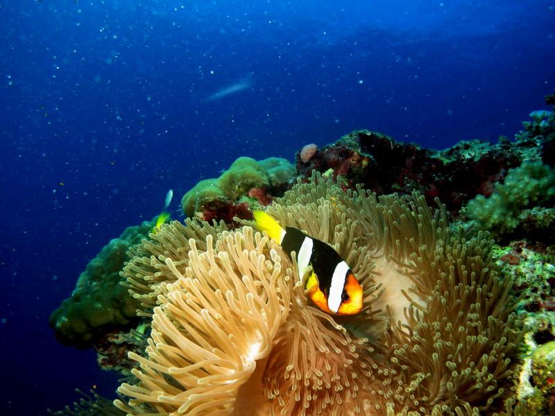 Reisebericht Tauchen Biyadhoo Malediven 2012, Anemonenfisch