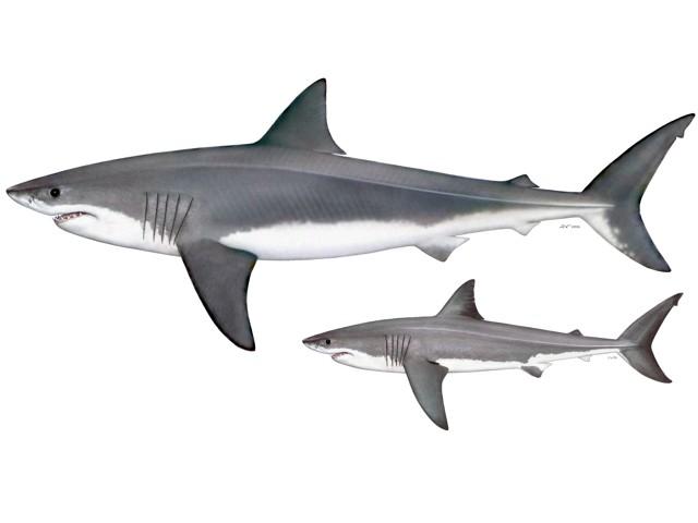Megalodon vs Weißer Hai