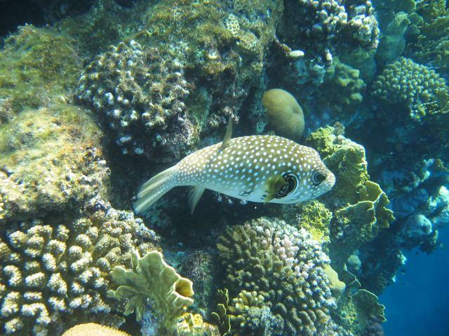 Kugelfisch Lamaya