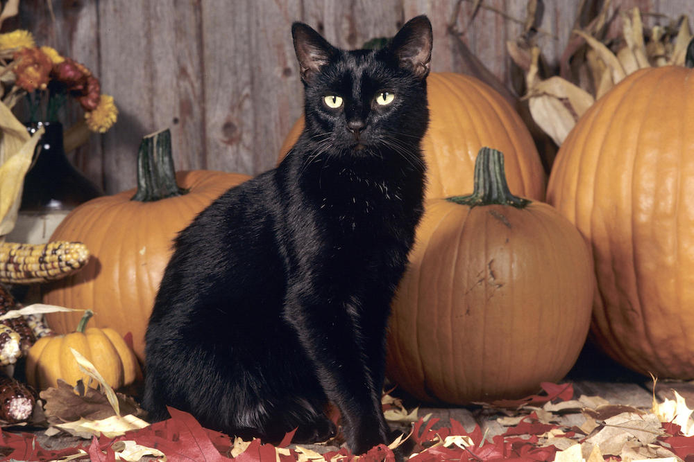 Wondering why are Black cats associated with Halloween
