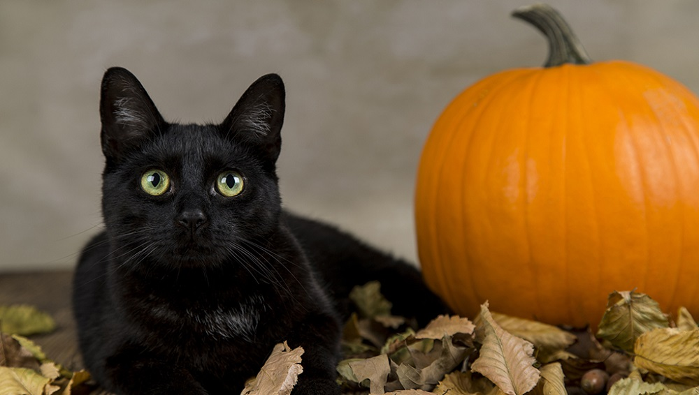 Black Cats are associated with the Halloween