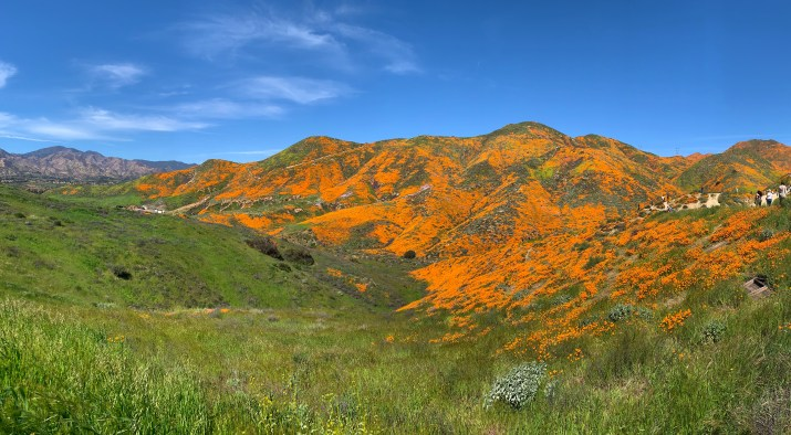 A canyon filled with orange poppy flowers and blue sky.