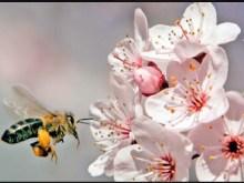 Ατομική βούληση στις αποικίες αγρίων μελισσών
