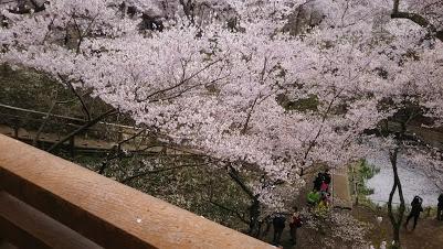 DSC 5129 高遠城址公園の桜が満開で見頃!桜雲橋は夢のよう♡駐車場情報あり