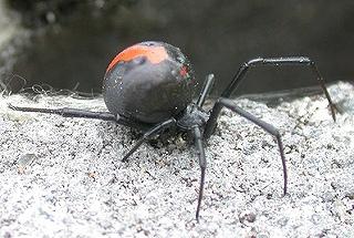 セアカゴケグモ 噛まれたら 症状