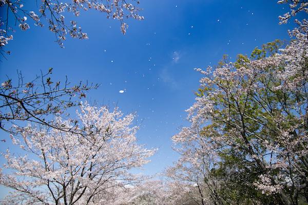 北条大池の桜-11
