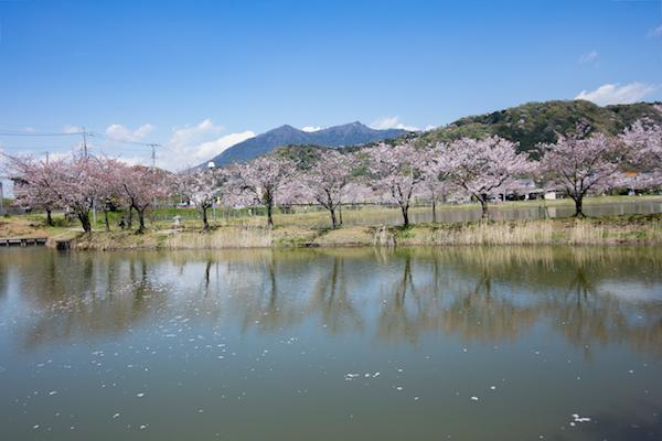 北条大池の桜-5