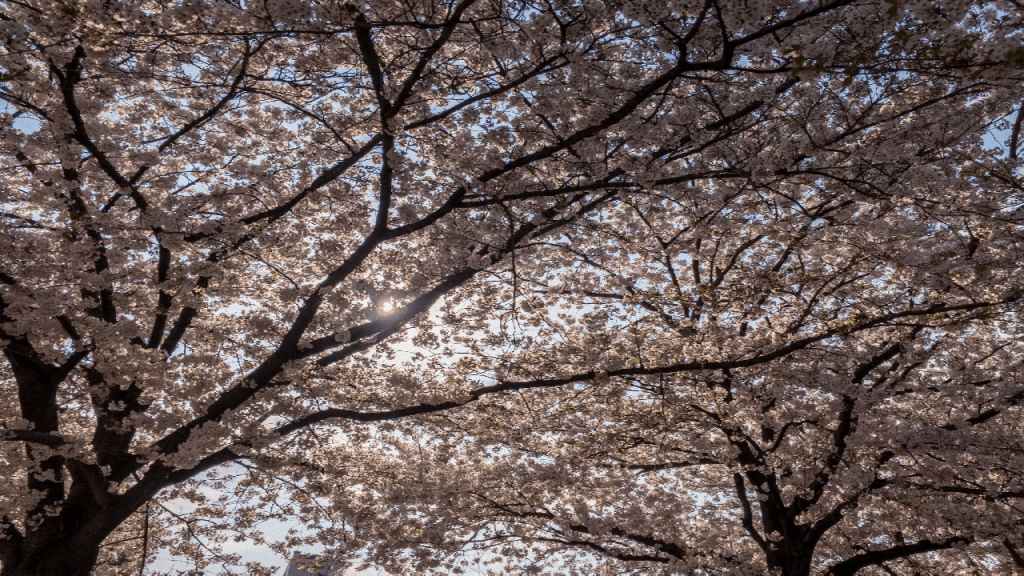 [work 32] Flow Field – Cherry Blossoms –