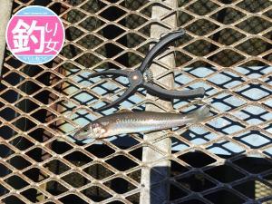 Kさん釣果①シロギス
