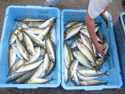 9月30日(日)の釣果(マルアジ船中69匹・イイダコ)