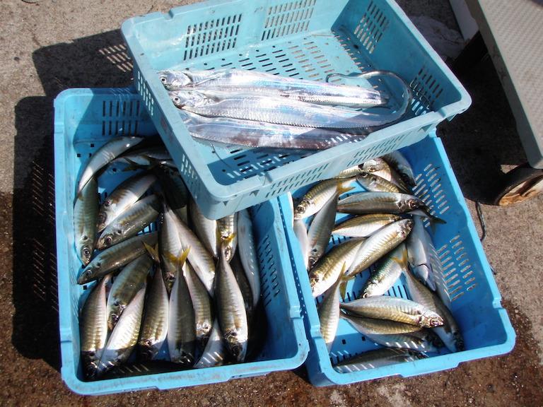 9月13日(日)の釣果(マルアジ船中46匹・タチウオほか)