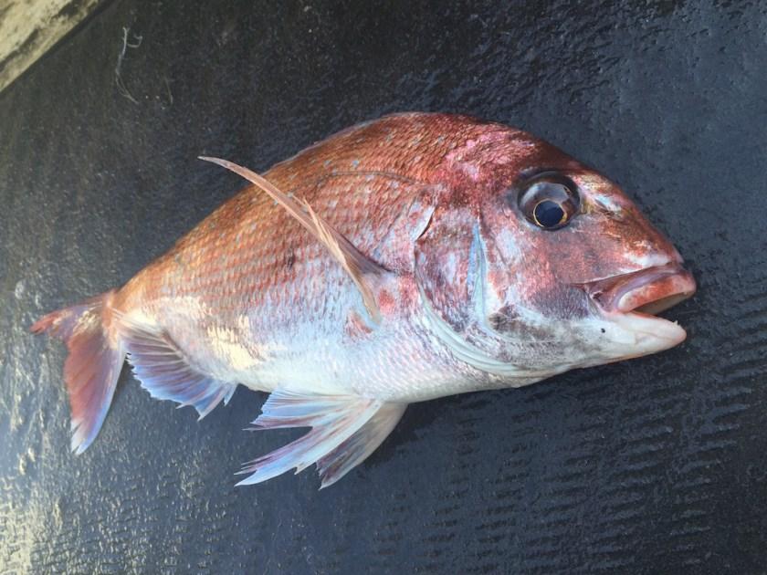 2016-04-30釣果 明石鯛