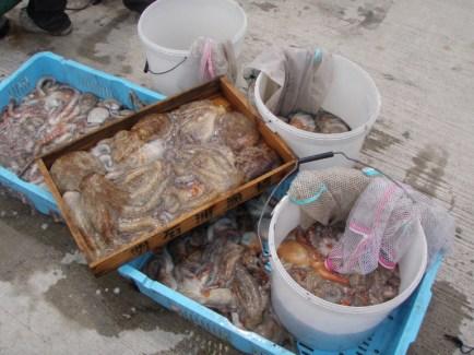 2016年6月27日 釣り船角田 明石タコ151杯の釣果-2画像
