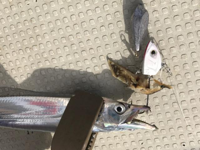 9月15日(金)の釣果(タチウオ)
