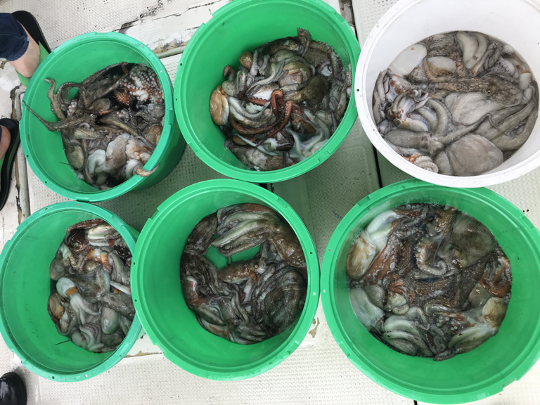 8月19日(月)の釣果(マダコ船中66杯)