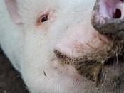 pigs-sep17-bob-dia-schmaler