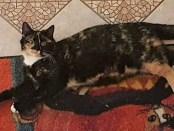 Vermisst: Katze Notschka in 17039 Sponholz
