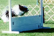 dog jumping hurdle