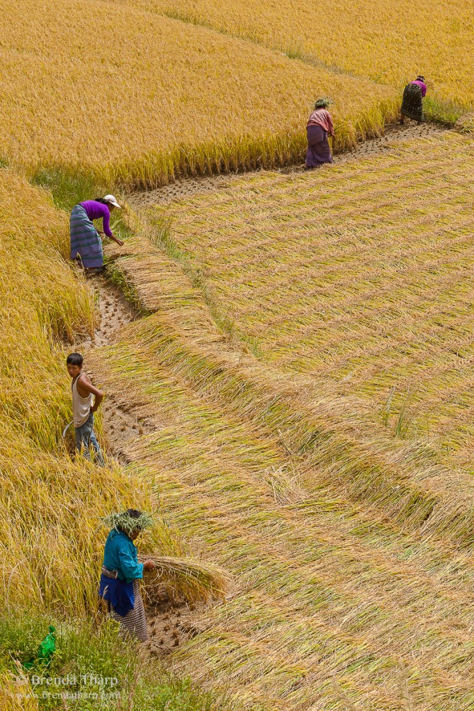 Harvesting Rice, Bhutan