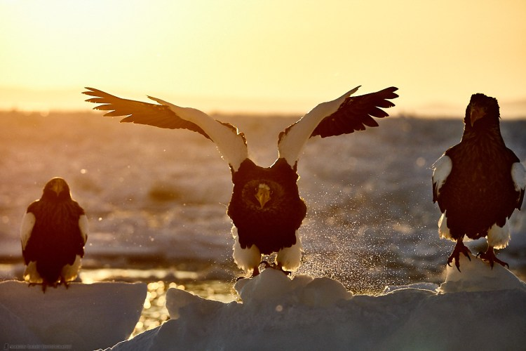 Steller's Sea Eagle Sunrise Launch