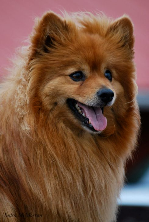 The resident Pomeranian at Tellington TTouch Canada