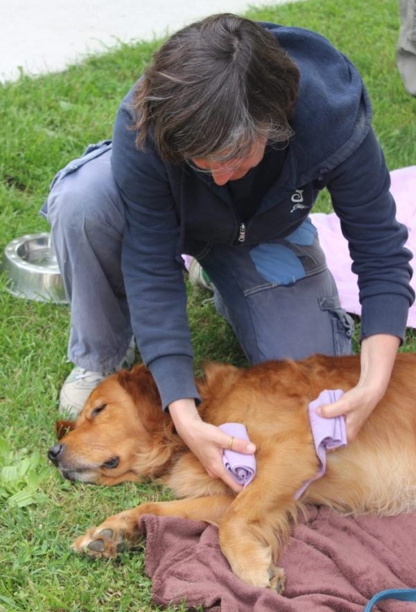 Elastic bandages are used to gently lift a dog's leg to release the shoulder.