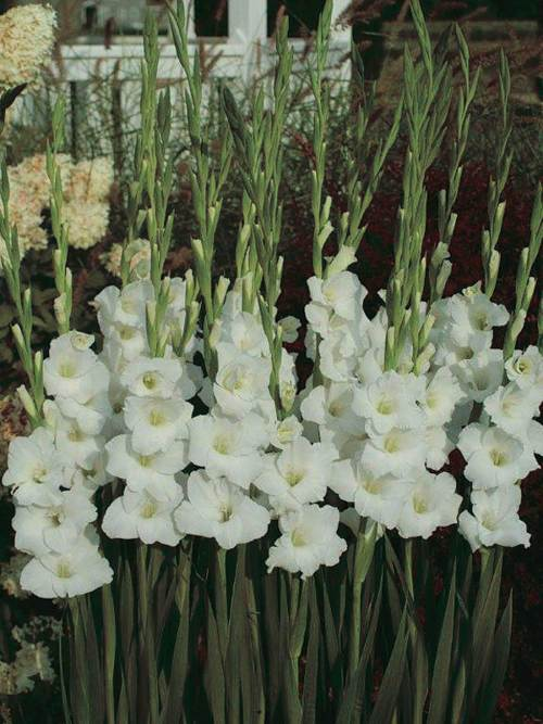 Gladiolus Great Lakes - Qty. bulb
