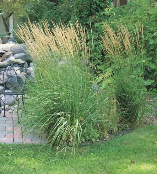 Reed Grass - Qty. ea