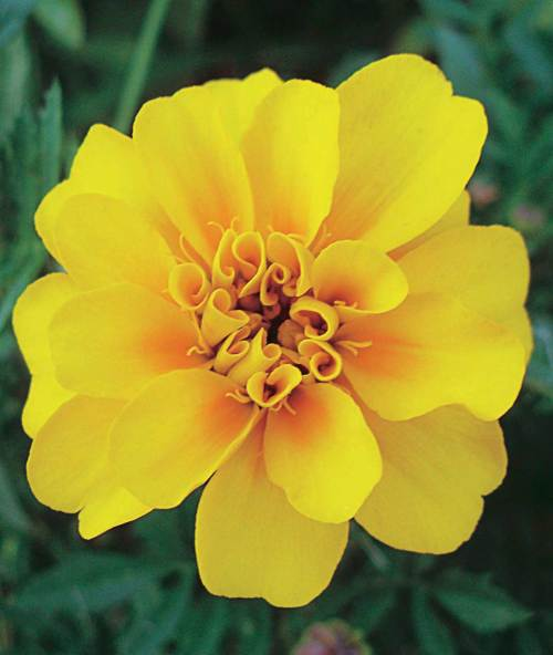 Marigold Durango Yellow - Qty. msd