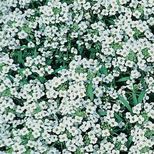 Alyssum Carpet Of Snow - Qty. gms