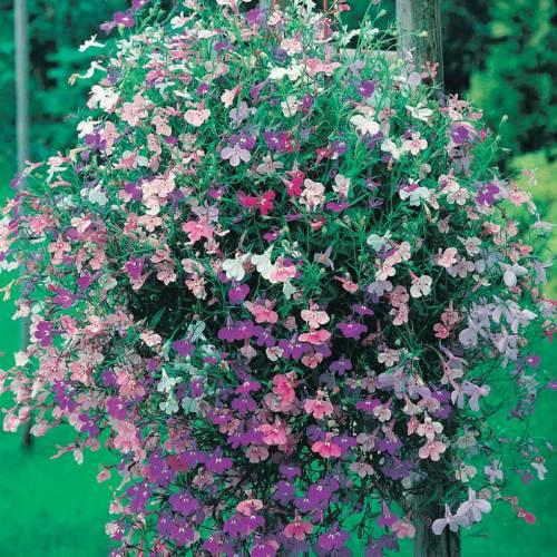 Lobelia Color Cascade - Qty. gms