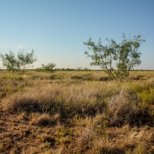Thomas Griffin began fighting the spread of mesquite, but the generational battle to reclaim the ranch's grassland from mesquite trees continues. The Griffin brothers have had to apply pesticide and mechanically grub to control the invasive species.