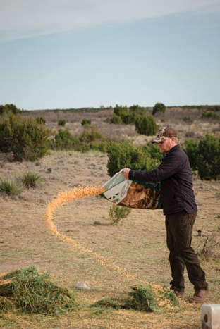Brandon Ray puts corn out daily to bait aoudad sheep