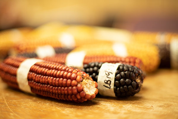 Red and black specialty corn laying on a table with other corn varieties.