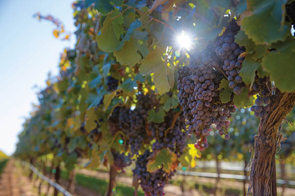 Picture of grape vines at Farmhouse Vineyard.