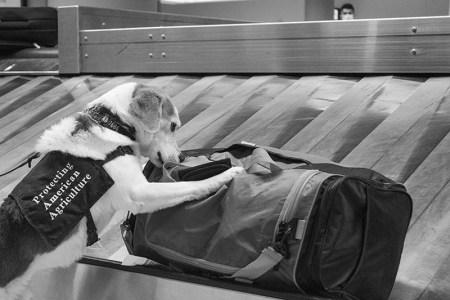 'Gadget' alerted to a passenger bag.