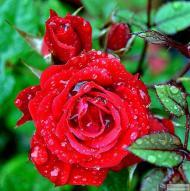 34-Rose_552118_3171547306756