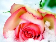 42-Rose_706273_3360590432716