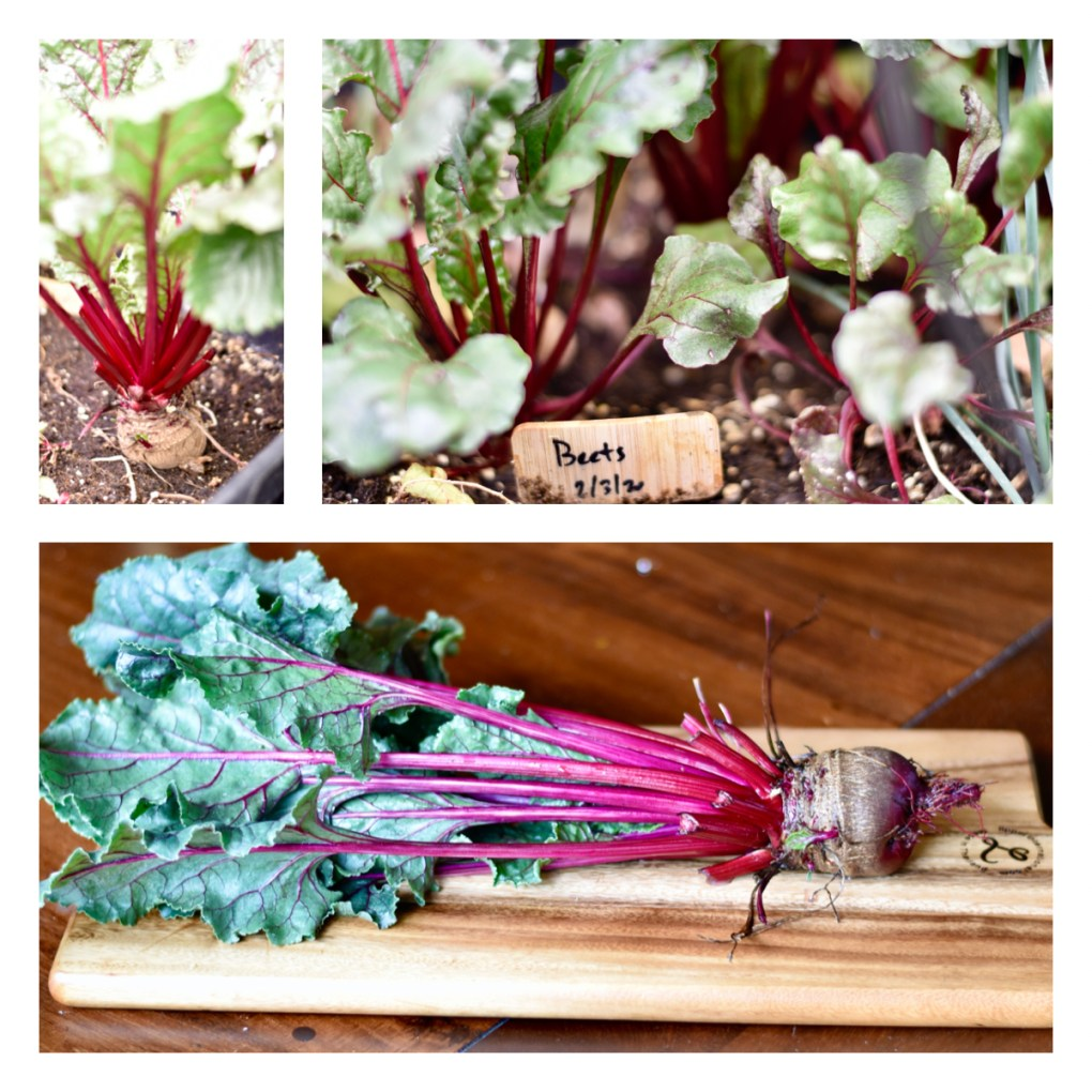 A gallery of three beet images. Top left, beets growing in an indoor garden container,  top right, a close up of beets growing inside. Bottom, a large full grown beet on a cutting board, leaves intact.