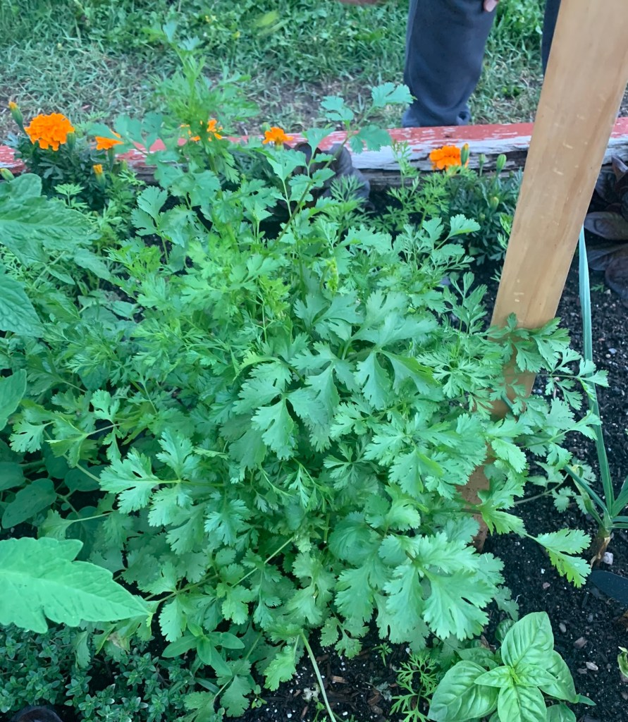 A large cilantro plant growing outside, showing that the tops are starting to bolt.