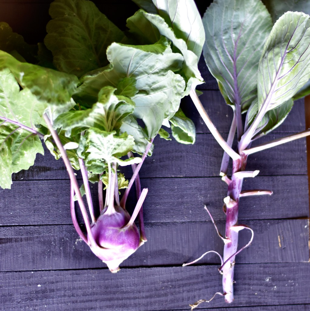 An overhead shot of two purple kohlrabi plants on a black wood background.,One has bulbed, the one on the right, has not.
