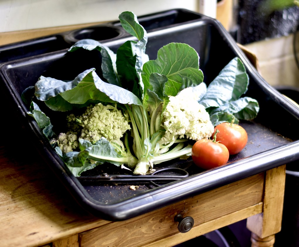 Two heads of cauliflower with leaves intact, harvested from the indoor garden, along with two red tomatoes on a black potting tray in the Tub Garden.