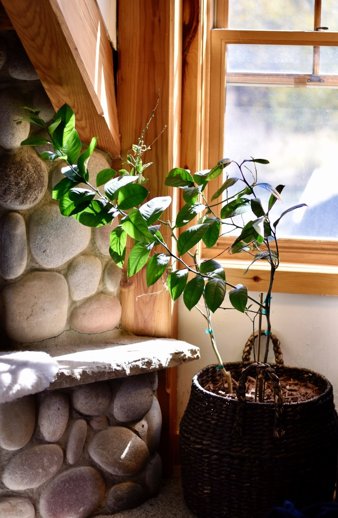 A little lemon tree in an indoor setting
