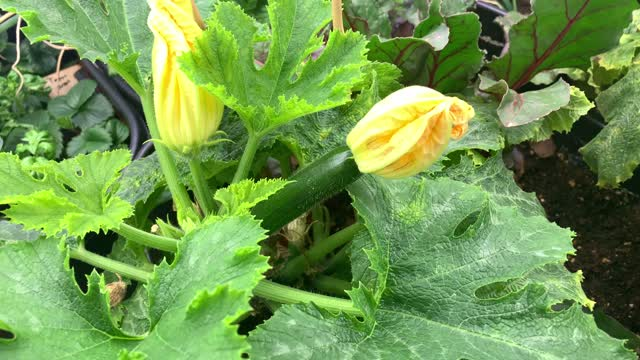 Why are all of the flowers on your vining cucumber or zucchini male? Too much light! We figured out this one!
