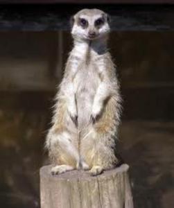 meerkat_492x588