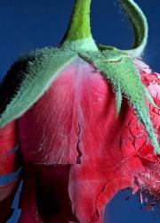 rose-flower-bullet-hit-flying-broken-background_540x960