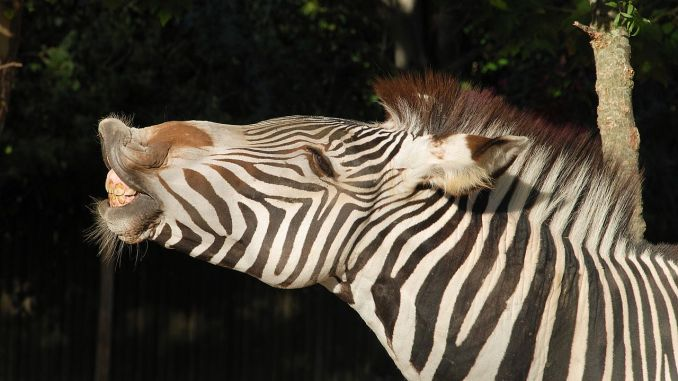 Zebra / Alvesgaspar
